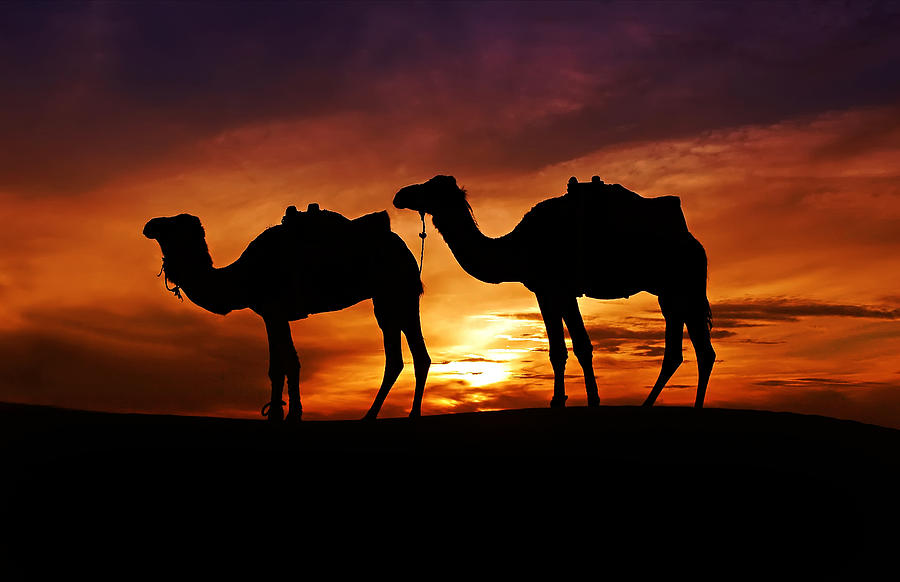camels-in-the-sahara-audra-mitchell